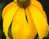 Yellow Coneflower with rain drops