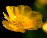 Buttercup-close-up_DSC03135