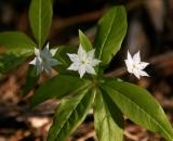Star-Flower_DSC06620