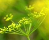 dill-flower_DSC03434