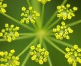 dill-flower_DSC03444