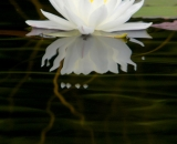 Fragrant water lily with reflection