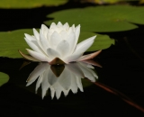 Fragrant Water Lily with reflection - 05