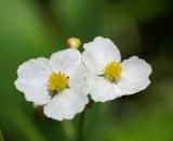 Arrowhead-flower_DSC08015