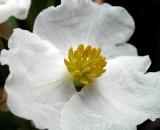 Arrowhead-flower_DSCN6582