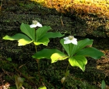 Bunchberry-flowers-and-mossy-log_DSC06856