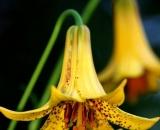 Canada-Lilies_DSC07423