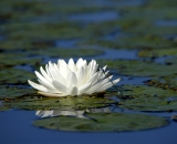 Dragonfly on Fragrant Waterlily