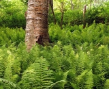 ferns-and-river-birch_DSC09448