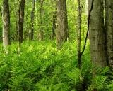 ferns-covering-forest-floor_DSC06559