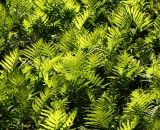 Early-spring-ferns-in-sunny-woodland