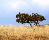 scrub-pine-and-autumn-grass-at-coast_DSC05367