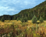 autumn-field-with-fir-trees_SCE 255