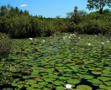 lily-pads-and-flowers-in-stream_SCE 275