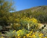 brittlebush-in-bloom-in-desert_DSC06667