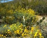 brittlebush-in-bloom-in-desert_DSC06668