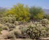 cholla-cactus-and-desert-vegetation_DSC07304