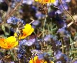 desert-flowers_DSC07239
