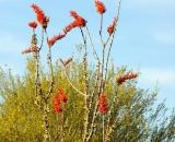 occotillo-cactus-bloom_DSC07005