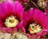 pink-cactus-bloom_DSC06698