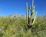 saguaro-and-desert-vegetation_DSC06673