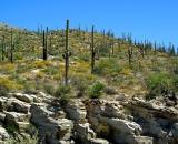 saguaro-cactus-on-Mount-Lemmon_DSC06545