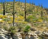 saguaro-cactus-on-Mount-Lemmon_DSC06546
