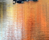 Canada Geese on pond reflecting fall colors