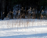 Goldenron stalks in winter
