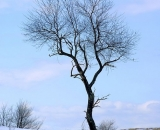 lone-tree-on-hill-in-winter_DSC04481