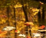 Autumn leaves floating on golden stream
