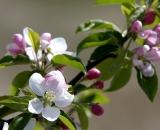 Apple blossoms -06
