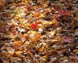 Fallen autumn leaves on forest floor