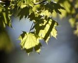 Back-lit Maple leaves