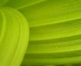 False hellebore leaves close-up