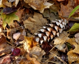 Pine cone and autumn leaves on forest floor