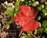 Red Maple leaf on forest floor