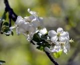 Apple blossoms - 04
