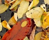Autumn leaves on water - 01