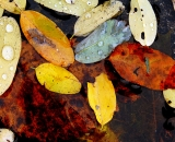 Autumn Leaves on water - 02