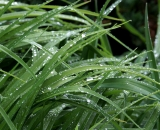 Rain drops on Day Lily leaves