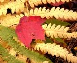 Maple leaf on fern in autumn