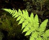 Woodland fern - 04