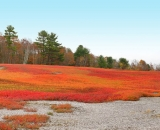 Blueberry-Field-in-autumn-panorama_02