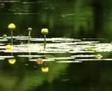 bull-lilies-on-pond-panorama_DSC06800