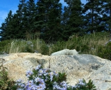 asters-at-Otter-Point_DSC09091