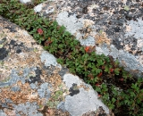 granite-and-vegetation-on-Cadillac-Mountain_DSC08566