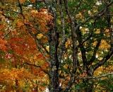 Baxter-State-Park-autumn-maple-trees_DSC00045
