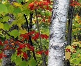 Baxter-State-Park-birch-and-maple-trees-in-autumn_DSC00018