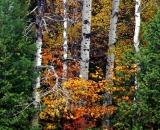 Baxter-State-Park-birch-trees-in-autumn_DSC00743